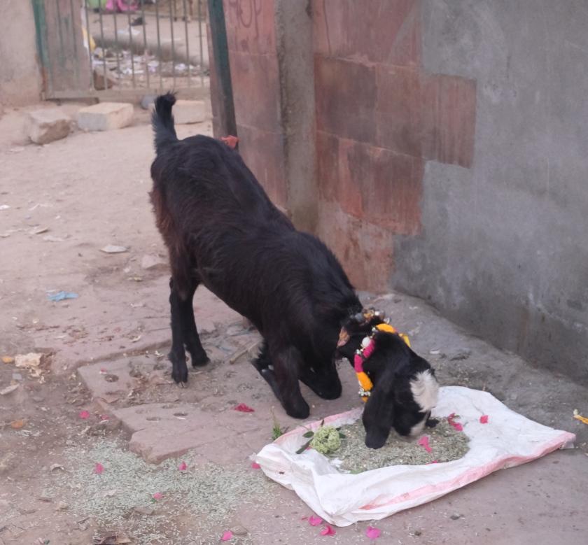 Delhi feeding goat.jpg