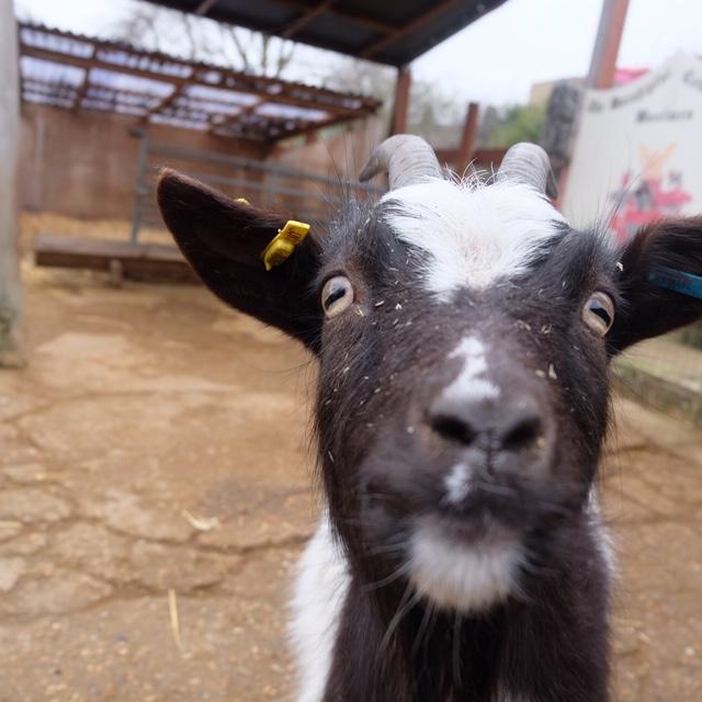 Goat from Spitalfields Farm