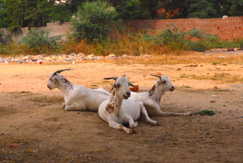 three goats in Delhi